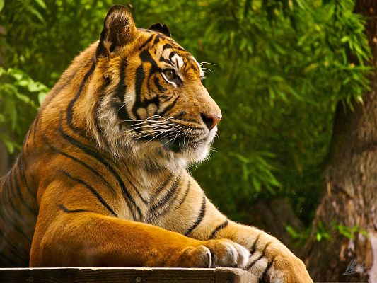click to free download the wallpaper--Wild Beautiful Tiger, Lying Comfortably and Looking Faraway