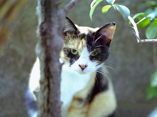 click to free download the wallpaper--Wild Cat Photo, Kitten Hiding Behind a Tree, Green Big Eyes