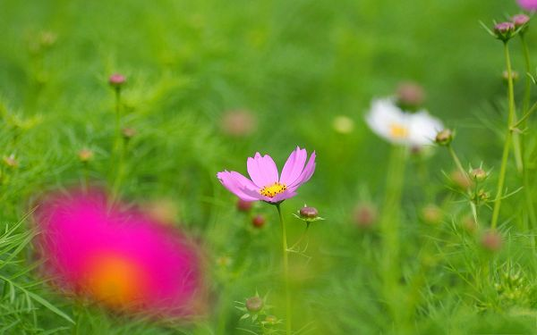 click to free download the wallpaper--Wild Flower Image, Pink and White Flowers in Bloom, Green Background