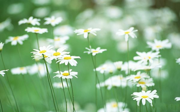 click to free download the wallpaper--Wild Flower Pic, White Blooming Flowers, Misty Faraway Scene