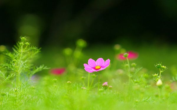 click to free download the wallpaper--Wild Flower Picture, Blooming Cosmos Among Green Scene, Incredible Look