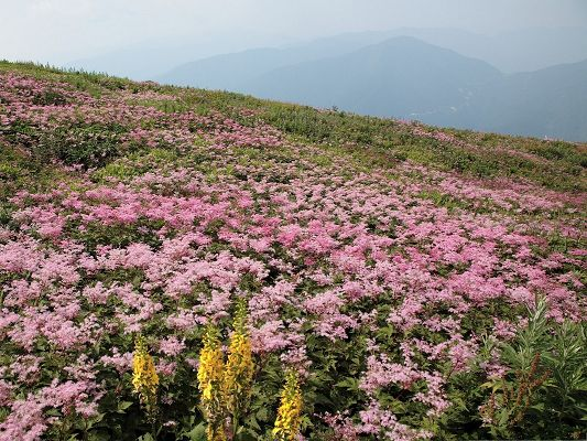 click to free download the wallpaper--Wild Flowers Field, Pink and Blooming Flowers Under the Blue Sky