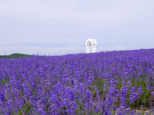 click to free download the wallpaper--Wild Flowers Field, Purple Flowers in Bloom, the Blue Sky