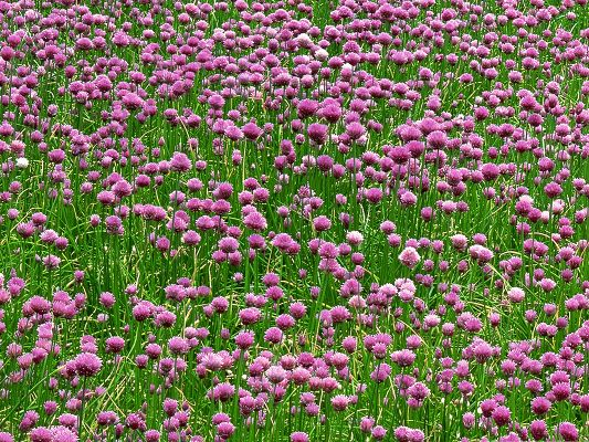 click to free download the wallpaper--Wild Flowers Field, Tiny Purple Flowers in Bloom, Green Leaves All Around