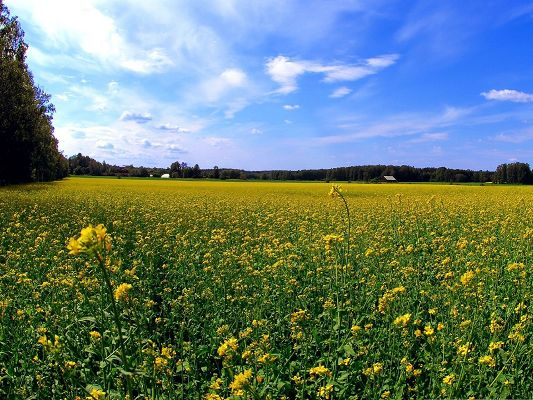 click to free download the wallpaper--Wild Flowers Field, Yellow Flowers Blooming, Under the Blue Sky, Great Look