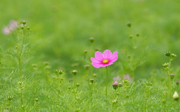 click to free download the wallpaper--Wild Flowers Image, Cosmos Flowers in Fall, Green Grass, Incredible Scene