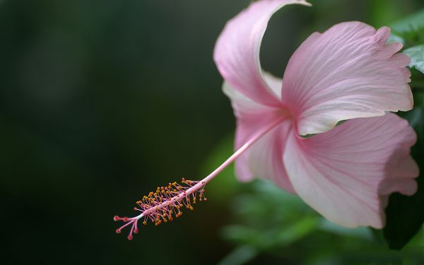 click to free download the wallpaper--Wild Flowers Image, Digital Photoraphy of Pink Flower