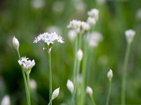 click to free download the wallpaper--Wild Flowers Image, White Flowers in Bloom, Green Background