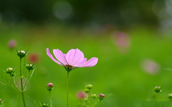 click to free download the wallpaper--Wild Flowers Photo, Cosmos Flower on Green Background, Impressive Scene