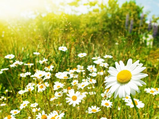click to free download the wallpaper--Wild Flowers Pic, Small White Flowers Among Green Grass, Sunshine Pouring on