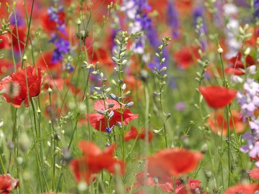 click to free download the wallpaper--Wild Flowers Picture, Red Flowers in Bloom, Attractive and Impressive