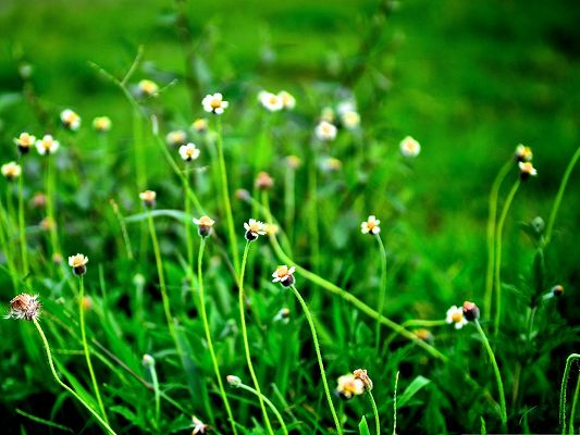 click to free download the wallpaper--Wild Flowers Picture, White Little Flowers Among Green Grass, Fresh Scene