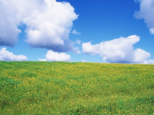 click to free download the wallpaper--Wild Flowers Picture, Yellow Flower Sea, the Blue and Cloudless Sky