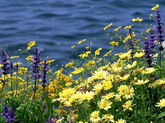 click to free download the wallpaper--Wild Flowers, Small Yellow Flower in Bloom, Along the Peaceful Sea