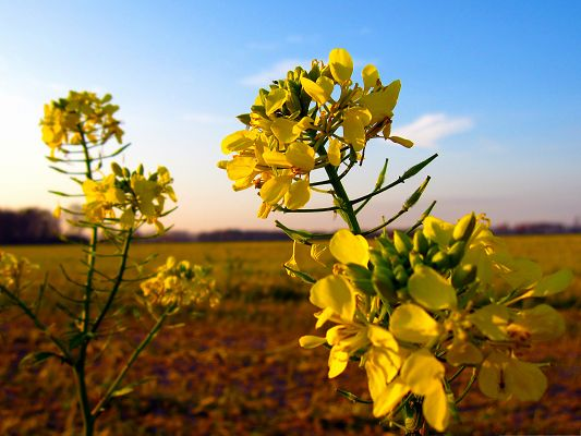 click to free download the wallpaper--Wild Mustard Flowers, Golden Blooming Flowers Under the Blue Sky, Amazing Scene