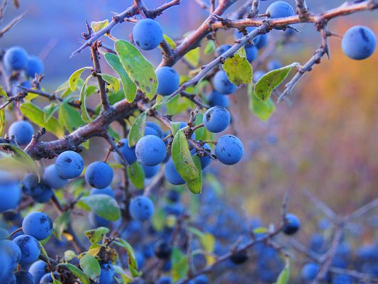 click to free download the wallpaper--Wild Nature Image, Blue Fruits, the Magic Nature