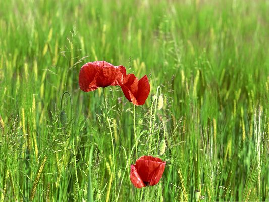click to free download the wallpaper--Wild Poppy Flowers, Red Flower in Bloom, Green Grass Around, Gain Utmost Attention