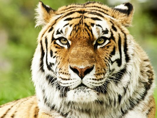 click to free download the wallpaper--Wild Siberian Tiger, Tough Tiger on Alert, It is the Powerful King