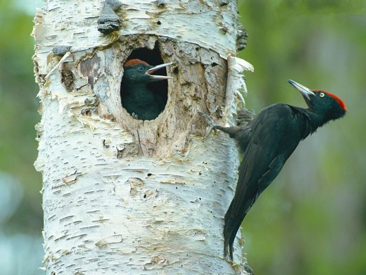 click to free download the wallpaper--Woodpecker Pictures, Black Birds Pecking the Tree, Be Good and Healthy