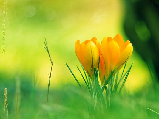 click to free download the wallpaper--Yellow Crocus Flowers, Beautiful Flower in Bloom, Green Leaves Beneath