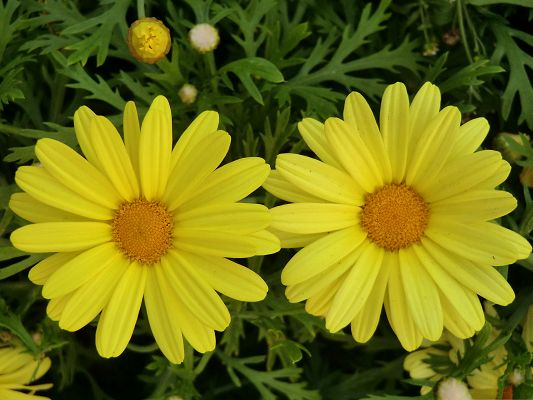 click to free download the wallpaper--Yellow Flower Image, Two Beautiful Flowers in Bloom, Green Grass Around