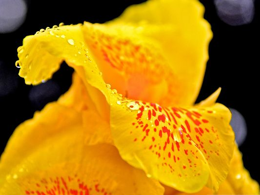 click to free download the wallpaper--Yellow Flowers Image, Blooming Flower with Rain Drops, Decent and Prosperous Scene