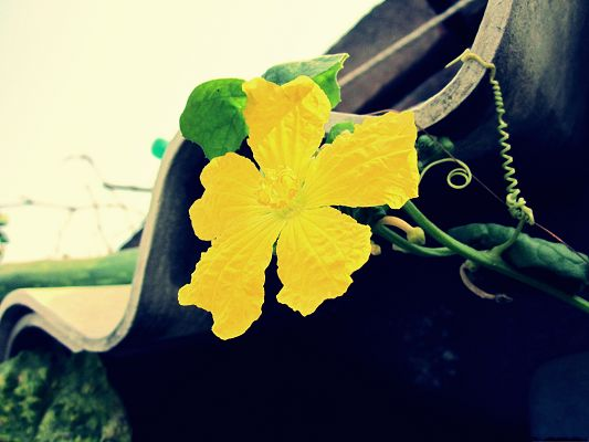 click to free download the wallpaper--Yellow Flowers Image, Long Stretched Yellow Petal, Curled Green Leaves