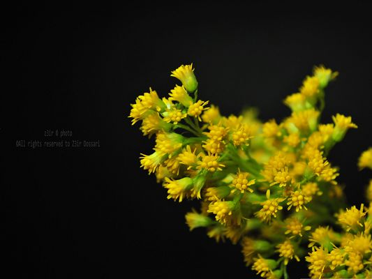 click to free download the wallpaper--Yellow Flowers Picture, Beautiful Flower in Bloom, Black Background