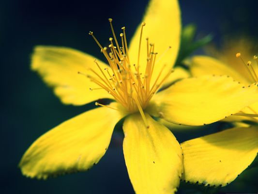 click to free download the wallpaper--Yellow Flowers Picture, Little Flower in Full Bloom, Long Stretched Stamen