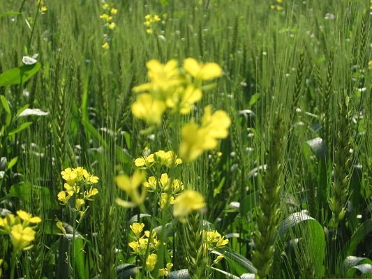 click to free download the wallpaper--Yellow Flowers Picture, Tiny Blooming Flower Among Green Wheats, Amazing Scenery