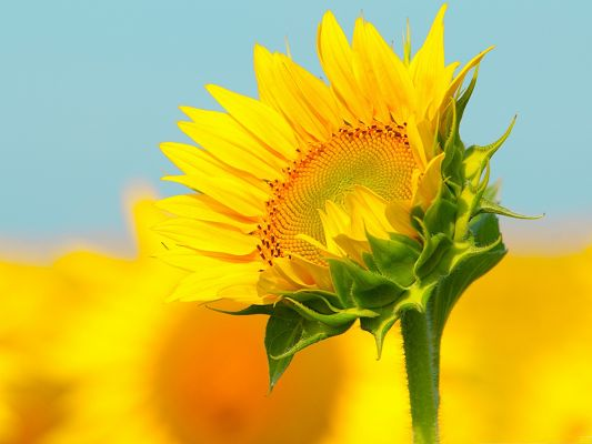 click to free download the wallpaper--Yellow Flowers Picture, Toward the Sun, Everything is Fine