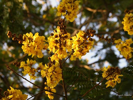 click to free download the wallpaper--Yellow Gulmohar Flowers, Blooming Little Flower, Prosperous Growth, Amazing Scene
