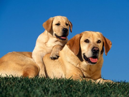 click to free download the wallpaper--Yellow Labradors HD Post in Pixel of 1600x1200, Two Close Puppies CLose to Each Other, Both Tongue Stretched Out, They Are Quite Impressive - Cute Animals Wallpaper