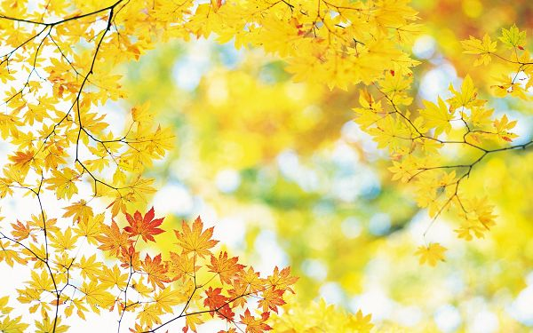 Yellow Leaves Not Fallen, They Seem Smiling and Making a Welcoming Gesture, Very Impressive - Widescreen Natural Scenery Wallpaper