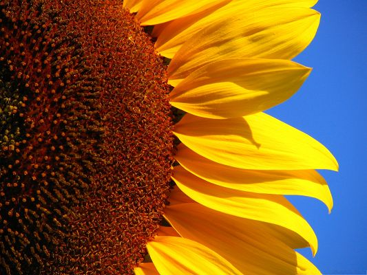 click to free download the wallpaper--Yellow Sunflower Images, Beautiful Flower in the Blue Sky, Incredible Scene