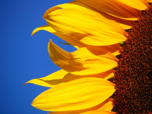 click to free download the wallpaper--Yellow Sunflower Picture, Long Stretched Petals Under the Blue Sky