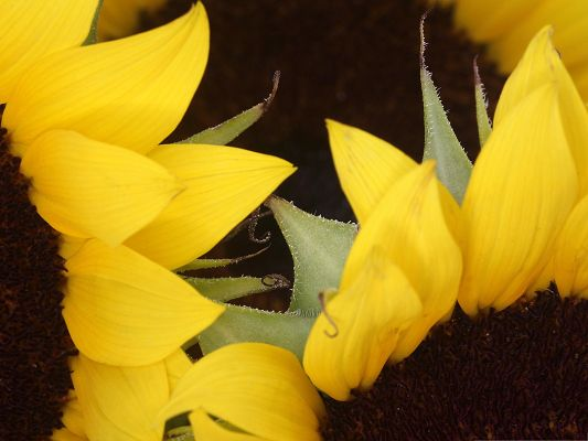 Yellow Sunflowers Picture, Beautiful Flower and Green Leaves, Incredible Scene