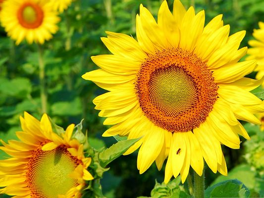 click to free download the wallpaper--Yellow Sunflowers Picture, Blooming Sunflower and Green Grass, Prosperous Scene