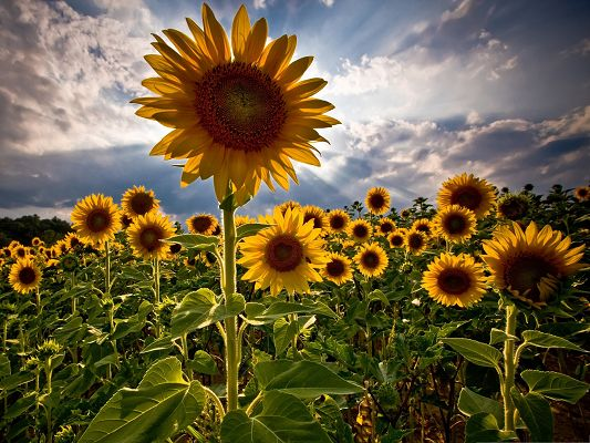 click to free download the wallpaper--Yellow Sunflowers Picture, Golden Sunflower Field, Under the Blue Sky