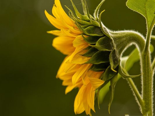 click to free download the wallpaper--Yellow Sunflowers Picture, Yellow Flower and Green Leaves, Incredible in Look