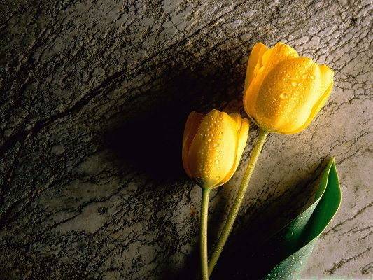 click to free download the wallpaper--Yellow Tulips Picture, Two Wet Flowers, Great and Impressive Look