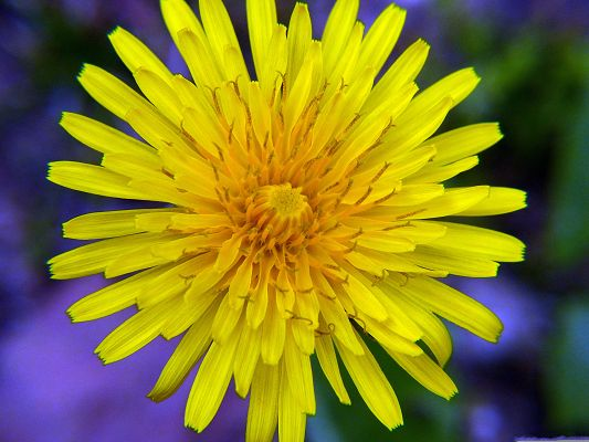 click to free download the wallpaper--Yellow Wild Flower, Beautiful Flower in Full Bloom, Blue and Fuzzy Background