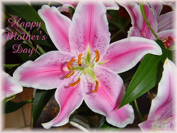 beautiful lily wallpaper for free  ,click to download