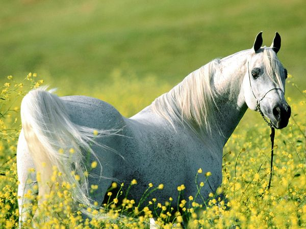 beautiful scenery wallpaper: a fine horse in flowering shrubs ,click to download