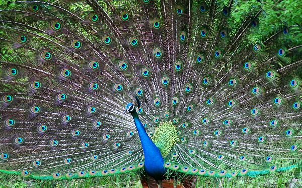 beautiful wallpaper of animals: a Peafowl unfolding his tail screen ,click to download
