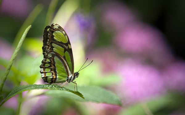beautiful wallpaper of animals: a butterfly standing on a leaf ,click to download
