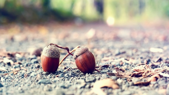 2015 HD Eye Protection Picture Wallpaper(9): macro mode of two chestnuts!