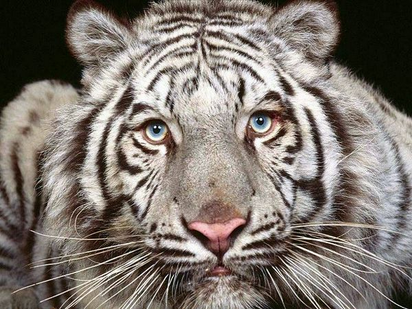 free animal wallpaper of tiger  ,click to download