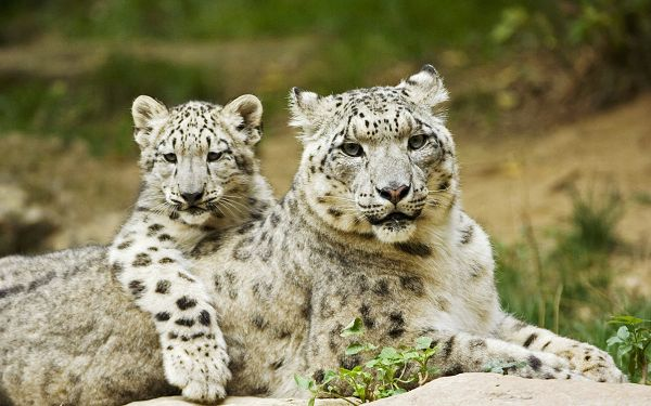 free scenery wallpaper - Includes Snow Leopard Mother and Cub, Appreciates Their Close Relationship!