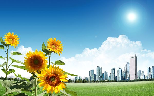 Free Scenery Wallpaper: Beautiful Sunflowers In The Sun